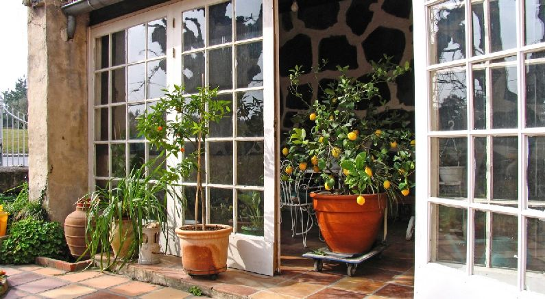 Expert Care Tips for Growing Citrus Trees Indoors