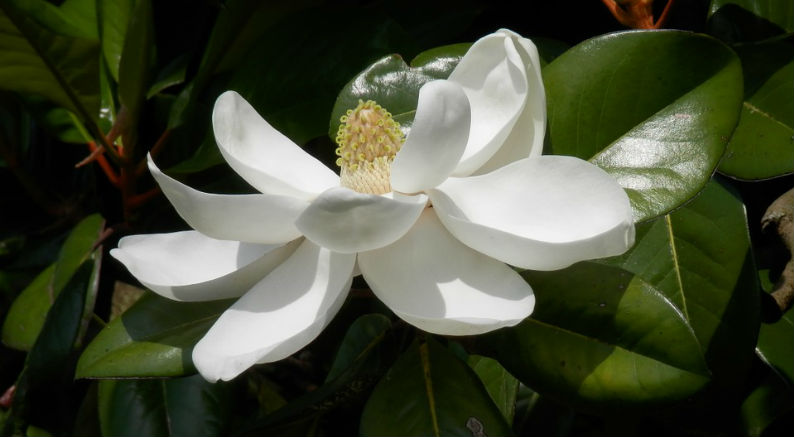Southern Magnolia Trees Drop Leaves In Spring