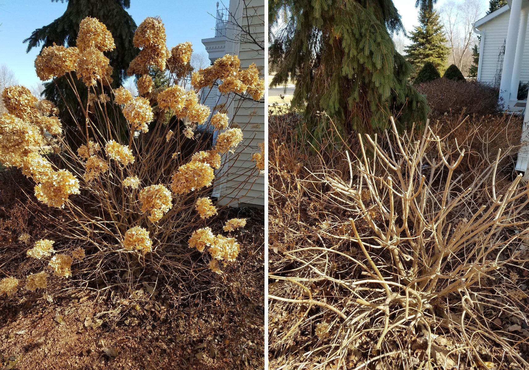 Pruning Woody Hydrangea Paniculata Type Shrubs