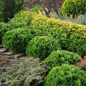 Rounded evergreen Arborvitae shrubs give year-round interest