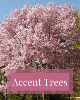 Accent Trees