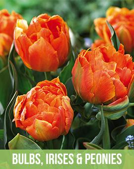 Bulbs, Peonies and Irises