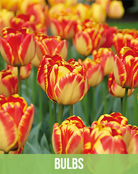 Parrot Tulip Bulb