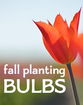 Fall Planting Bulbs