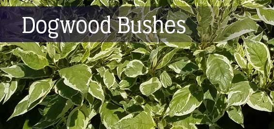 Dogwood Bushes