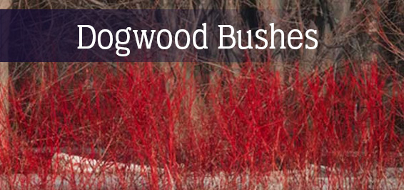 Dogwood Bushes