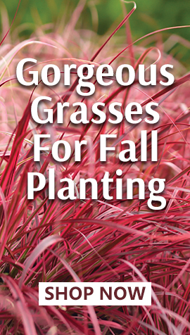 Grasses for Fall Planting