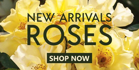New Arrivals Roses