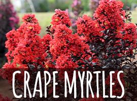 Crape Myrtles