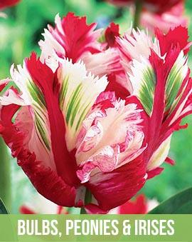 Bulbs, Peonies, and Irises