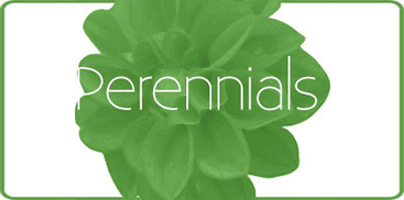Shop Our Wide Selection of Perennials