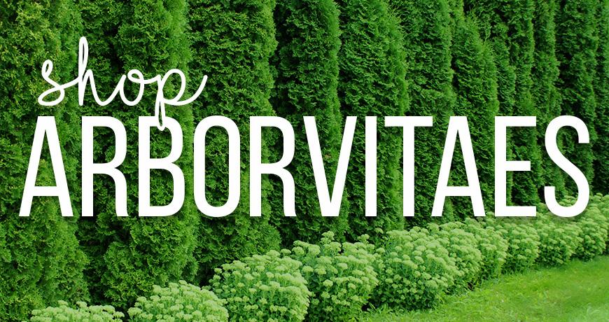 Arborvitaes