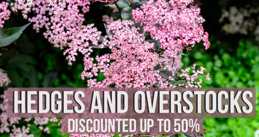Hedges and Overstocks up to 50% Off
