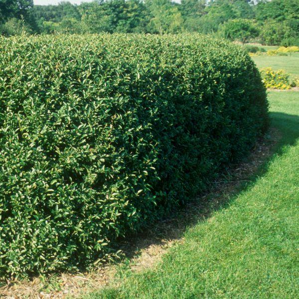 privacy shrubs