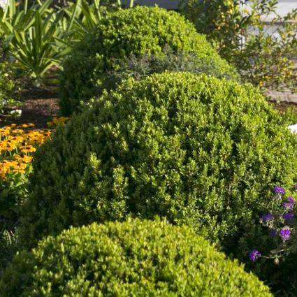 boxwood bushes