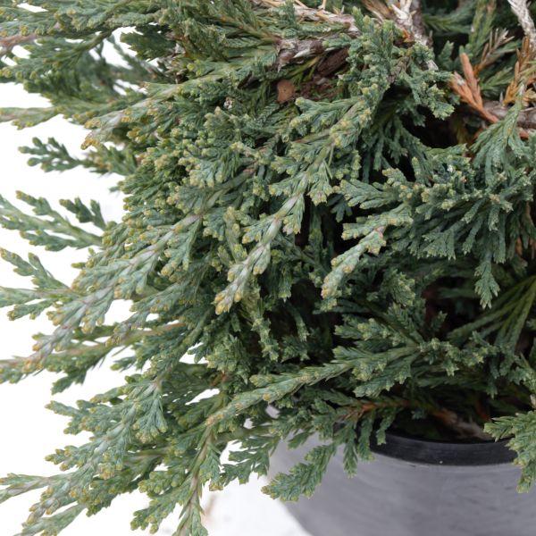 juniper bushes