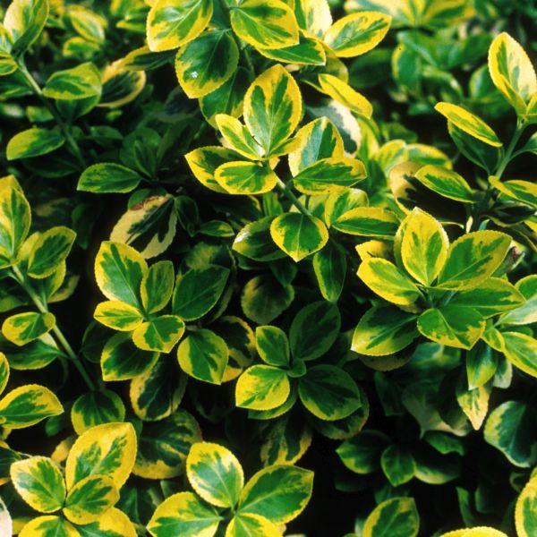 euonymus shrubs