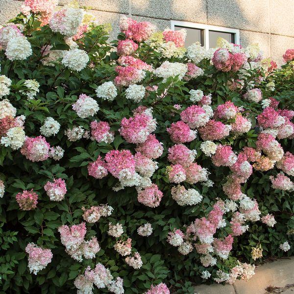 hydrangea bushes