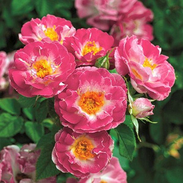 rose bushes