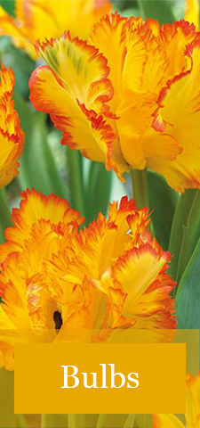 col - Flower Bulbs