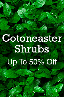 col - Cotoneaster 50% off