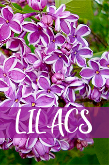 col - lilacs
