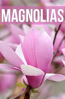 col - magnolias