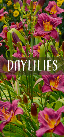 col - daylilies