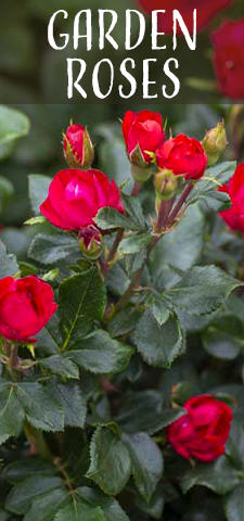col - Garden Roses