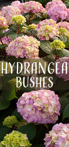 col - Hydrangea Bushes