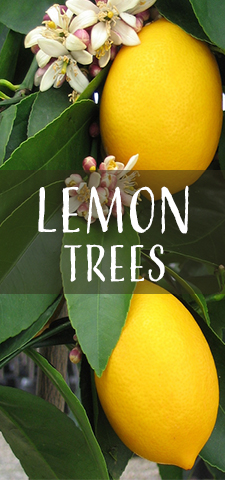 col - Lemon Trees