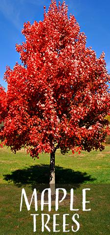 col - Maple Trees