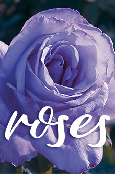 col - roses