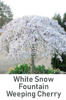 col - White Snow Fountain Weeping Cherry