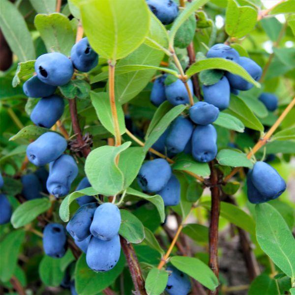honeyberry plants