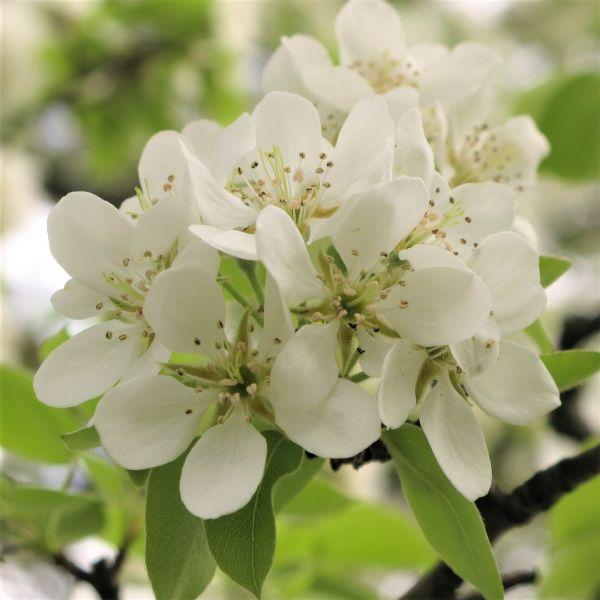 flowering pear trees