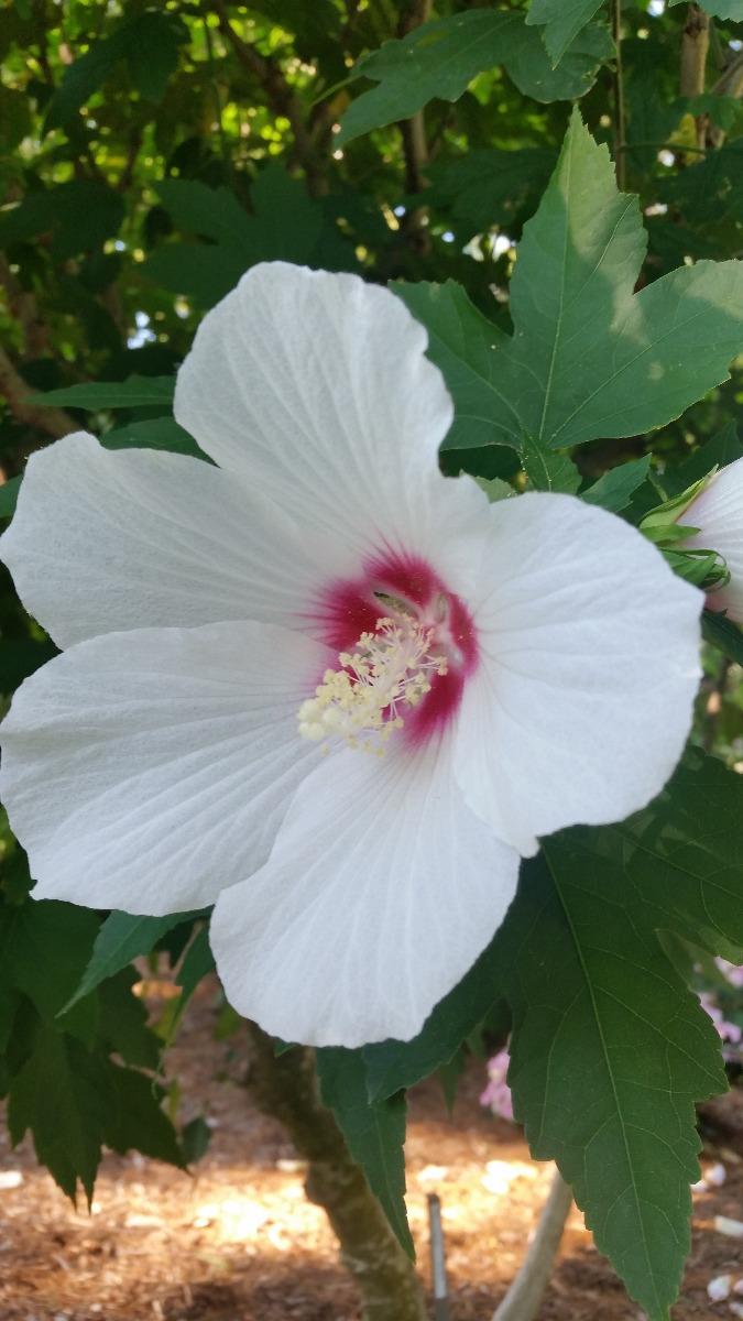 rose of sharon trees