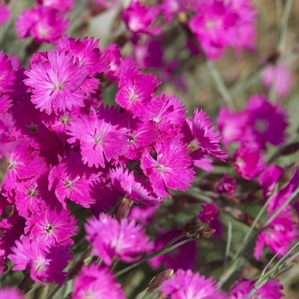 flowering groundcover
