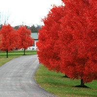 Autumn Blaze Red Maple Tree