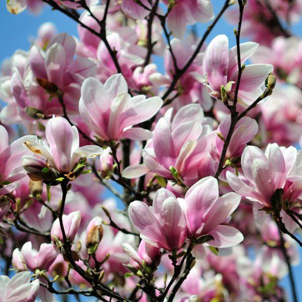 Alexandrina Saucer Magnolia Tree
