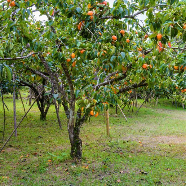 American Persimmon Tree For Sale Naturehills Com