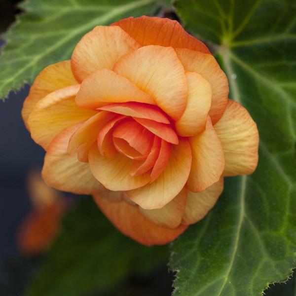 Apricot Illumination Begonia