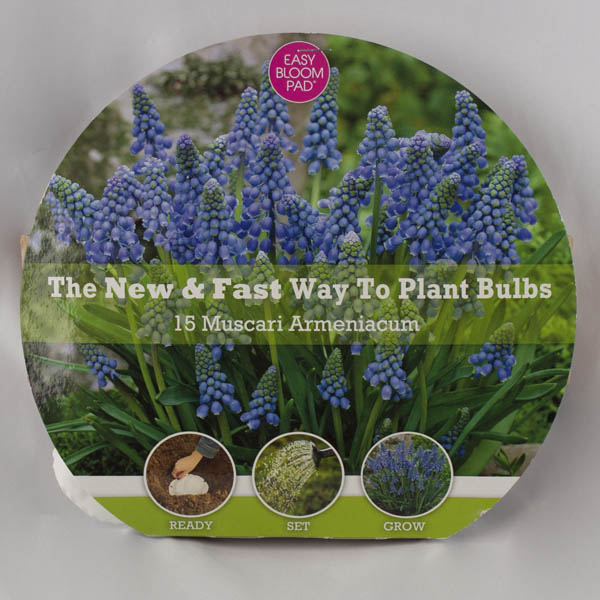 Grape Hyacinth Easy Bloom Pad