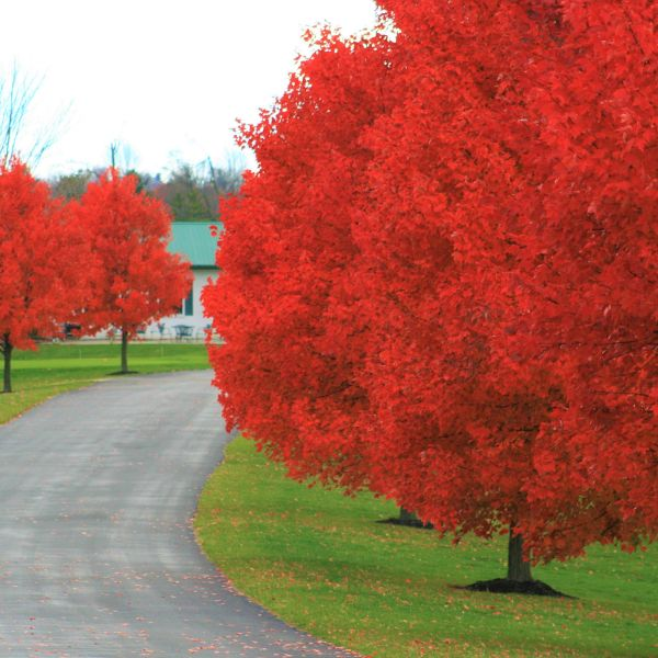 Image of Autumn Blaze Red Maple