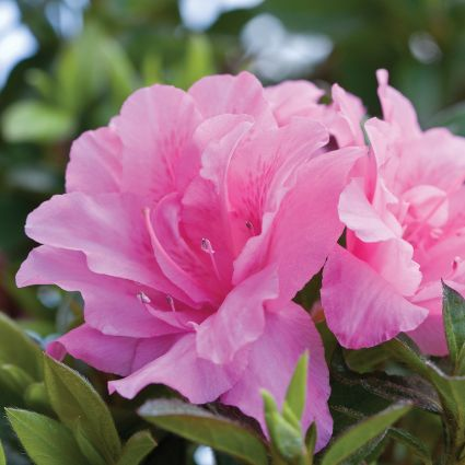Image of Autumn Carnation Encore Azalea