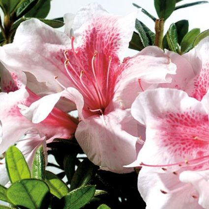 Image of Autumn Chiffon Encore Azalea