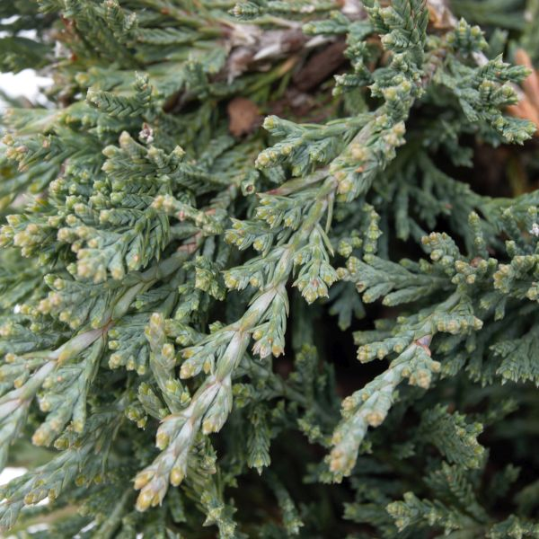 Bar Harbor Juniper