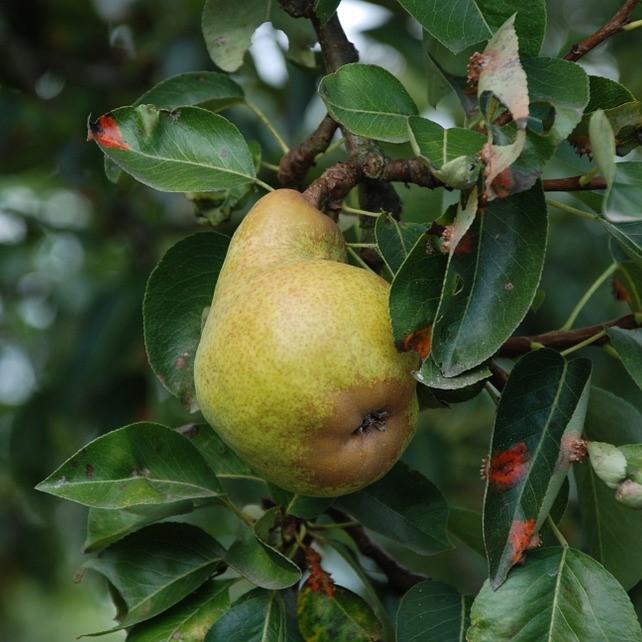 Bartlett Pear Tree