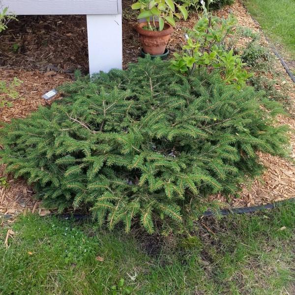 Birds Nest Spruce
