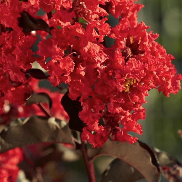 Black Diamond Best Red Crape Myrtle